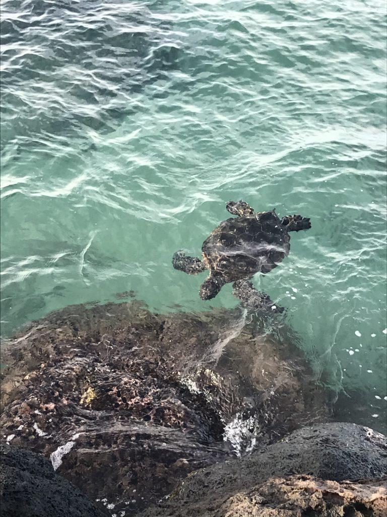 Sea turtle off of the Kihei Boat Ramp in Kihei, Maui, Hawaii